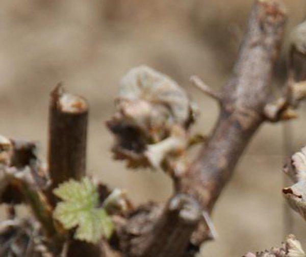 Gel : l'ensemble du vignoble ligèrien est sévèrement touché !